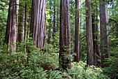 Among giant redwoods on the Boy Scout Tree Trail in Jedediah Smith Redwoods State Park, UNESCO World Heritage Site, California, United States of America, North America