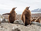 King penguin (Aptenodytes patagonicus) chicks called Okum Boys at Gold Harbor, South Georgia, Polar Regions