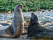 Young southern elephant seal bulls (Mirounga leoninar), mock-fighting on the beach in Gold Harbor, South Georgia, Polar Regions