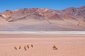 Adult vicunas (Vicugna vicugna), in the Andean Central Volcanic Zone, Antofagasta Region, Chile, South America