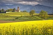 Rapeseed fields (Brassica Napus), San Martino church, Garbagnate Monastero, Lecco province, Brianza, Lombardy, Italy, Europe