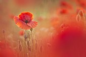 Close up of Poppy on meadow, Lazzago, Brianza, Como province, Lombardy, Italy, Europe