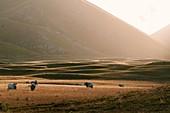 Campo Imperatore, Abruzzo, Italy. cows and meadow at sunset. Parco Nazionale del Gran Sasso e Monti della Lega