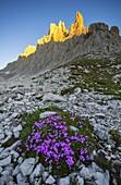 A group of violet at Vajolet Tower during summer sunrise, Gruppo del Catinaccio, Dolomiti di Gardena, Bolzano, Trentino Alto Adige, Italy, Southern Europe