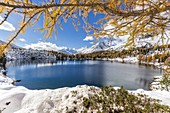 Lago Viola framed by larch trees and snow in autumn, Val di Campo, Poschiavo, canton of Graubunden, Switzerland
