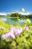Colorful flowers in bloom on shores of Lake Arnisee in summer, Canton Uri, Switzerland