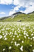 Summer bloom of cotton grass in the green meadows of Pian dei Cavalli, Vallespluga, Valchiavenna, Valtellina, Lombardy, Italy