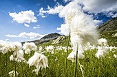 White head of cotton grass in bloom moved by wind, Pian dei Cavalli, Vallespluga, Valchiavenna, Valtellina, Lombardy, Italy
