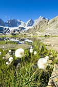 Cotton grass in bloom on shores of Forbici lake, Valmalenco, Valtellina, Sondrio province, Lombardy, Italy
