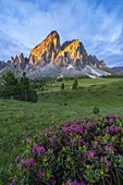 Peak of Sass De Putia (Peitlerkofel) and rhododendrons lit by sunrise, Passo Delle Erbe, Dolomites, Bolzano, South Tyrol, Italy