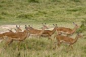 Impala (Aepyceros melampus), Masai Mara National Reserve, Kenya.