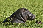 Adult and baby Hippopotamuses, (Hippopotamus amphibius), Masai Mara National Reserve, Kenya.