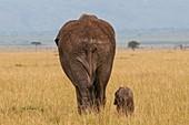 African Elephant and calf (Loxodonta africana), Masai Mara National Reserve, Kenya.