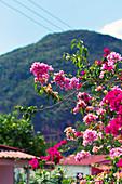 Detail of pink flowers in Viñales, Cuba