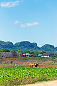 Farmer and cow working in a crop field in Viñales Valley, Cuba