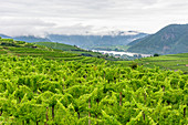 Vineyards in the Wachau, Lower Austria, Austria