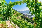 Vineyards on the Tausendimerberg near Spitz an der Donau with a view of the Danube Valley, Wachau, Lower Austria, Austria
