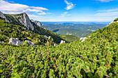 Mountain pines in the Höllengebirge and view of the Alberfeldkogel in the Salzkammergut, Austria