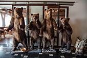 Stuffed bears are on display in the Macola restaurant, Korenika, Lika-Senj, Croatia, Europe