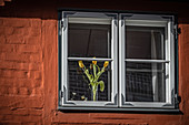 Window with tulips in the old town of Lueneburg, Germany