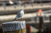 Seagull in the Hafencity, Hamburg, Germany