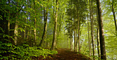 Sonniger Morgen in einem Buchenwald im Frühling südlich von München, Oberbayern, Bayern, Deutschland, Europa