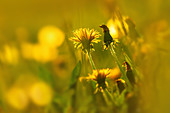 Dandelions in the evening light, Bavaria, Germany, Europe