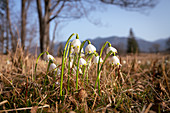 First signs of spring in the Murnauer Moos, Murnau, Bavaria, Germany, Europe