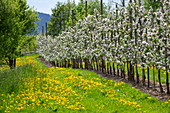 Yellow dandelions bloom on a lush meadow path between rows of blooming apple trees in spring, Krombach Oberschur, Spessart-Mainland, Franconia, Bavaria, Germany, Europe