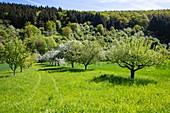 Apple trees in full bloom on a lush meadow in spring, near Reicholzheim, near Wertheim, Spessart-Mainland, Franconia, Baden-Wuerttemberg, Germany, Europe