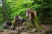 Mosses on tree trunk, near Rohrbrunn, Räuberland, Spessart-Mainland, Franconia, Bavaria, Germany