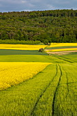 Tractor tracks next to a blooming rape field, near Röllbach, Spessart-Mainland, Franconia, Bavaria, Germany, Europe