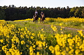 Two young women ride horses on dirt road through blooming rapeseed field, Haunetal Starklos, Rhoen, Hesse, Germany, Europe
