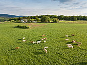 Aerial view of bright cattle grazing on spring meadow, Eschau, Räuberland, Spessart-Mainland, Franconia, Bavaria, Germany, Europe