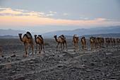 Äthiopien; Region Afar; Danakil Wüste; Danakil Senke; Kamelkarawane auf dem Weg zu den Salzpfannen am Karum See