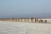 Äthiopien; Region Afar; Danakil Wüste; Kamelkarawane auf dem Weg zu den Salzpfannen am Karum See