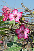 Ethiopia; Southern Nations Region; on the Omo River; blooming desert rose; semi-arid climate