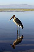 Äthiopien; Region der südlichen Nationen; Hawassa See bei Hawassa; fischreicher See im ostafrikanischen Grabenbruch; Marabu im seichten Wasser;