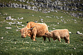 Cattle with young animal on the meadow of the Faroe Islands in the sun