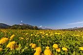 Dandelion meadow in Reit im Winkl in spring with Kaisergebirge, Chiemgau, Bavaria, Germany