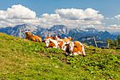 Kühe auf einer Almwiesse in den Chiemgauer Bergen, Bayern, Deutschland
