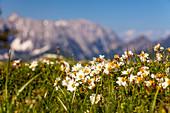 Mountain flowers in spring with Wilder Kaiser, Tyrol, Austria, Kaiser Mountains