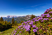 Mountain flowers in spring with a view of the Wilder Kaiser, Tyrol, Austria, Kaiser Mountains