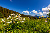Mountain flowers in spring on the Hemmersuppenalm, Chiemgau, Bayer, Germany, Reit im Winkl