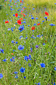 Wildflower meadow near Magdeburg, Saxony-Anhalt, Germany * wild flowers near the city of Magdeburg, Saxony-Anhalt, Germany