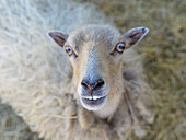 Curious sheep in a petting zoo on the island of Foehr, North Frisia, Germany