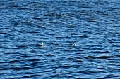 Two swans swim in the Baltic Sea, Skreastrand, Halland, Sweden