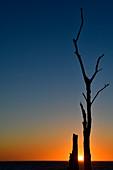 Sonnenuntergang zwischen den Ästen eines toten Baumes an der Ostsee, Grimsholmen, Halland, Schweden