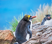 Macaroni penguin (Eudyptes chrysolophus) and rockhopper penguins (Eudyptes chrysocome chrysocome) on a rocky islet, East Falkland, Falkland Islands, South America