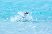 Gentoo penguin (Pygocelis papua papua) swimming, East Falkland, Falkland Islands, South America